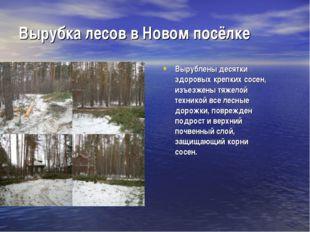 Вырубка лесов в Новом посёлке Вырублены десятки здоровых крепких сосен, изъез