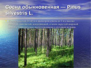 Сосна обыкновенная — Pinus silvestris L. Дерево высотой 20-40 м и диаметром с