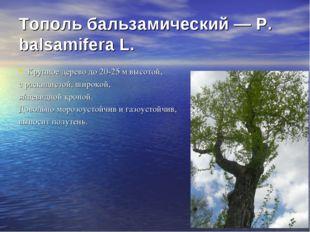 Тополь бальзамический — Р. balsamifera L. Крупное дерево до 20-25 м высотой,
