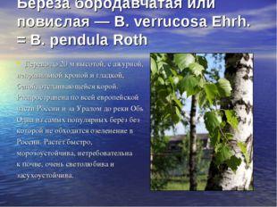 Береза бородавчатая или повислая — В. verrucosa Ehrh. = В. pendula Roth Дере