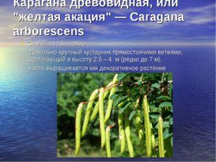 """Карагана древовидная, или """"желтая акация"""" — Caragana arborescens Семейство"""