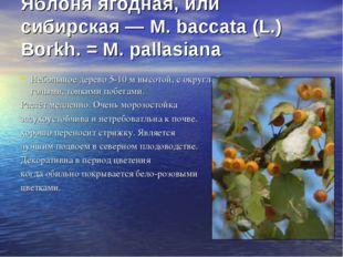 Яблоня ягодная, или сибирская — М. baccata (L.) Borkh. = М. pallasiana Небол