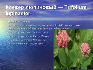Клевер люпиновый — Trifolium lupinaster. Семейство Бобовые Многолетнее травян