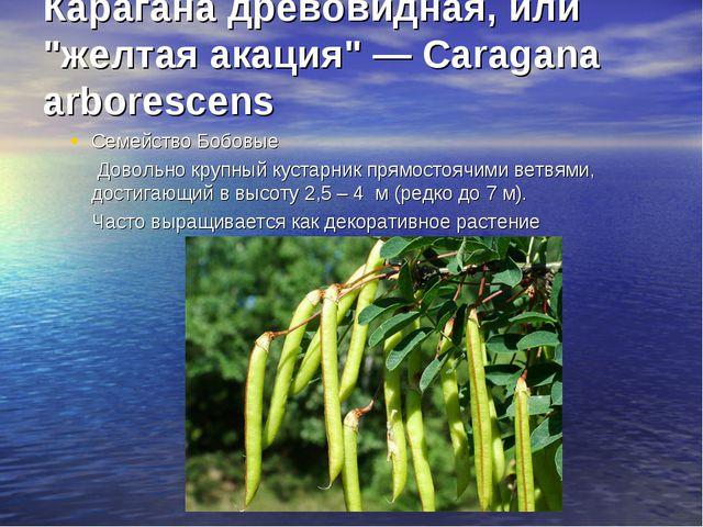 """Карагана древовидная, или """"желтая акация"""" — Caragana arborescens Семейство..."""