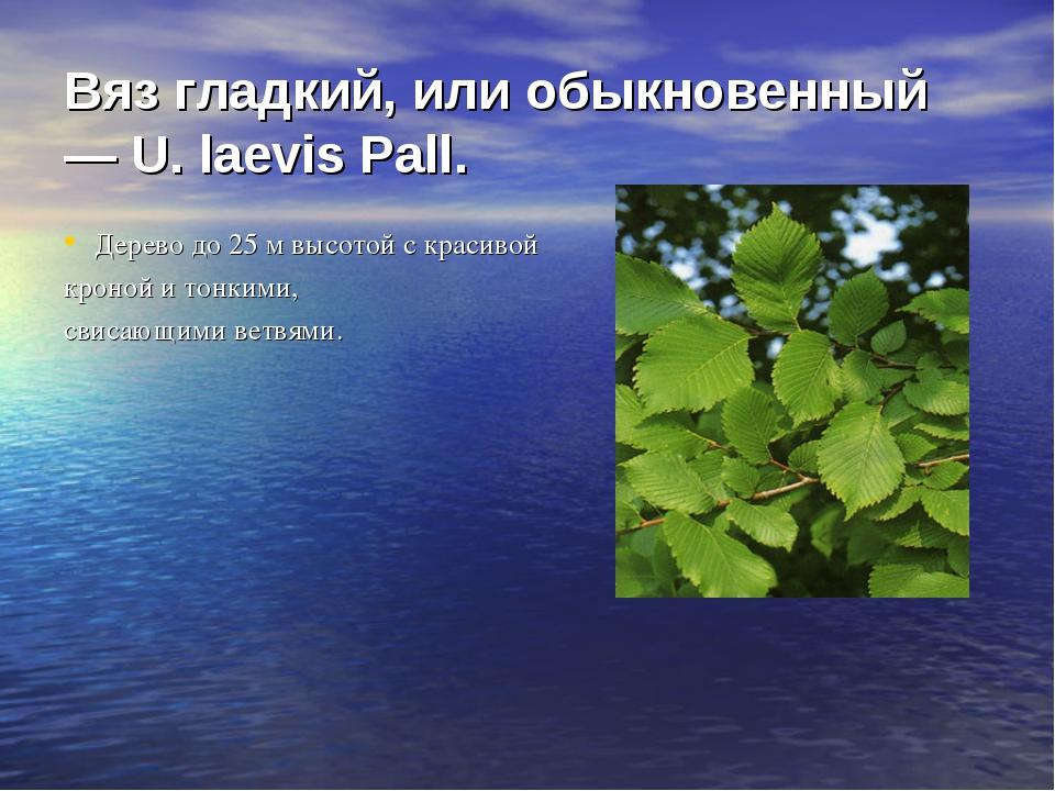 Вяз гладкий, или обыкновенный — U. laevis Pall. Дерево до 25 м высотой с кра...