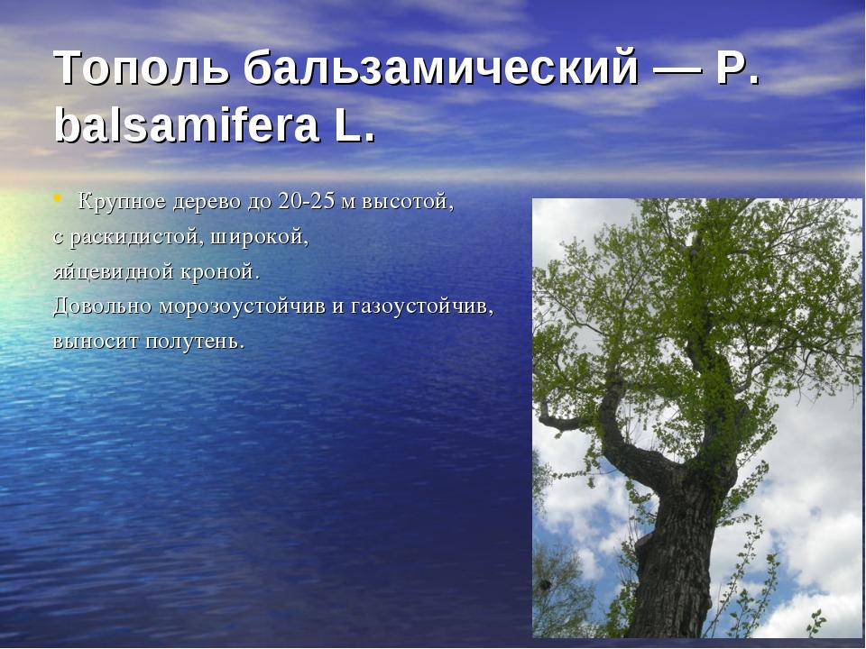 Тополь бальзамический — Р. balsamifera L. Крупное дерево до 20-25 м высотой,...