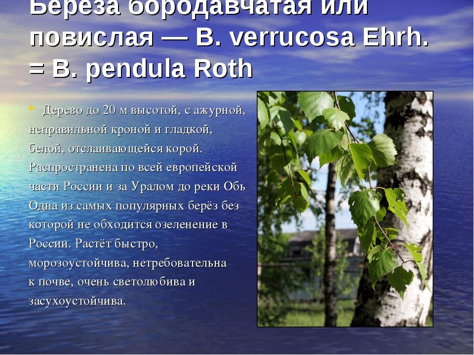 Береза бородавчатая или повислая — В. verrucosa Ehrh. = В. pendula Roth Дере...
