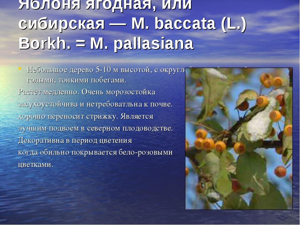 Яблоня ягодная, или сибирская — М. baccata (L.) Borkh. = М. pallasiana Небол...