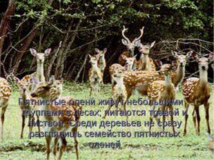 Пятнистые олени живут небольшими группами в лесах; питаются травой и листвой.