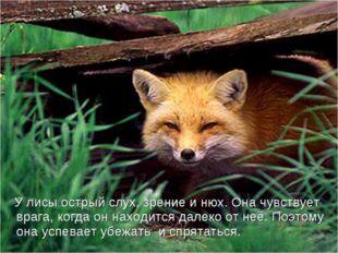 У лисы острый слух, зрение и нюх. Она чувствует врага, когда он находится да