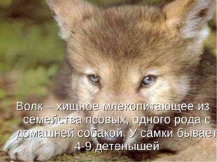 Волк – хищное млекопитающее из семейства псовых, одного рода с домашней собак