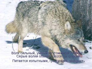 Волк сильный, умный неутомимый хищник Серые волки обычно охотятся стаями. Пит