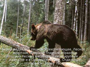 Бурый медведь – хищное млекопитающее. Лесное животное, живущее главным образо