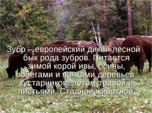 Зубр – европейский дикий лесной бык рода зубров. Питается зимой корой ивы, ос