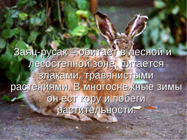 Заяц-русак – обитает в лесной и лесостепной зоне, питается злаками, травянист...
