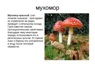 мухомор Мухомор красный, (лат. Amanita muscaria) - гриб ядовит, но отравления