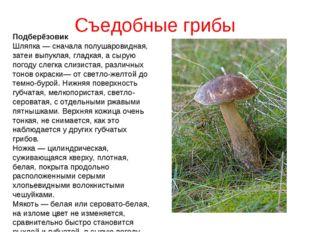 Съедобные грибы Подберёзовик Шляпка — сначала полушаровидная, затеи выпуклая,