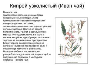 Кипрей узколистый (Иван чай) Многолетнее травянистое растение из семейства ки