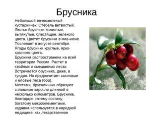 Брусника Небольшой вечнозеленый кустарничек. Стебель ветвистый. Листья брусни