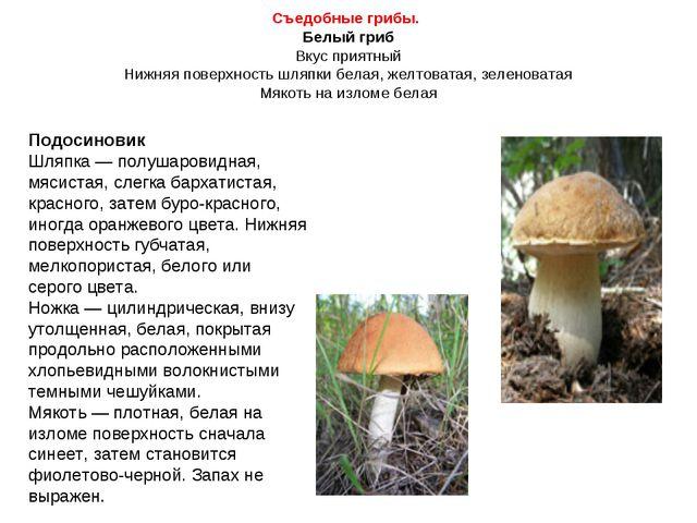 Съедобные грибы. Белый гриб Вкус приятный Нижняя поверхность шляпки белая, же...