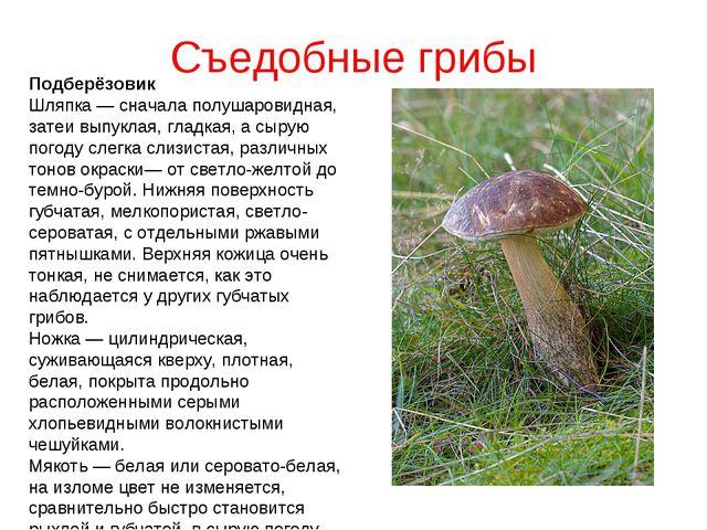 Съедобные грибы Подберёзовик Шляпка — сначала полушаровидная, затеи выпуклая,...