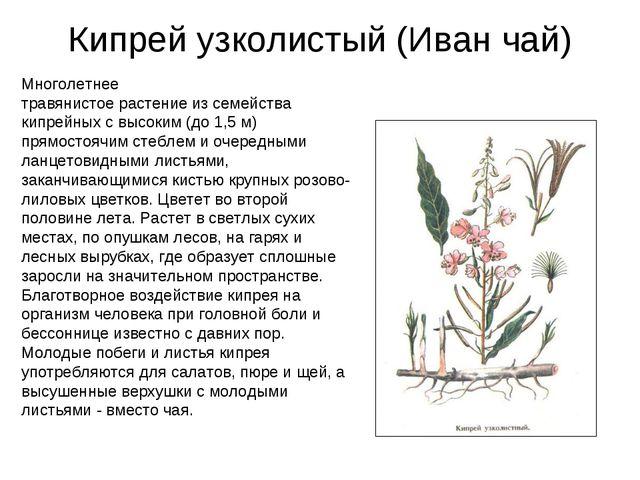 Кипрей узколистый (Иван чай) Многолетнее травянистое растение из семейства ки...