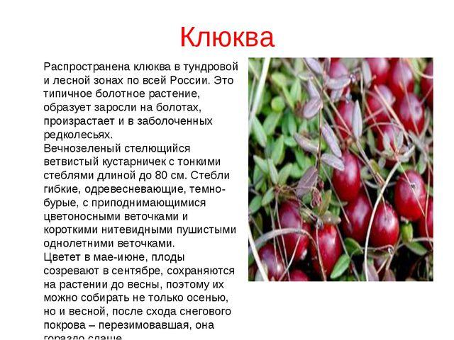 Клюква Распространена клюква в тундровой и лесной зонах по всей России. Это т...