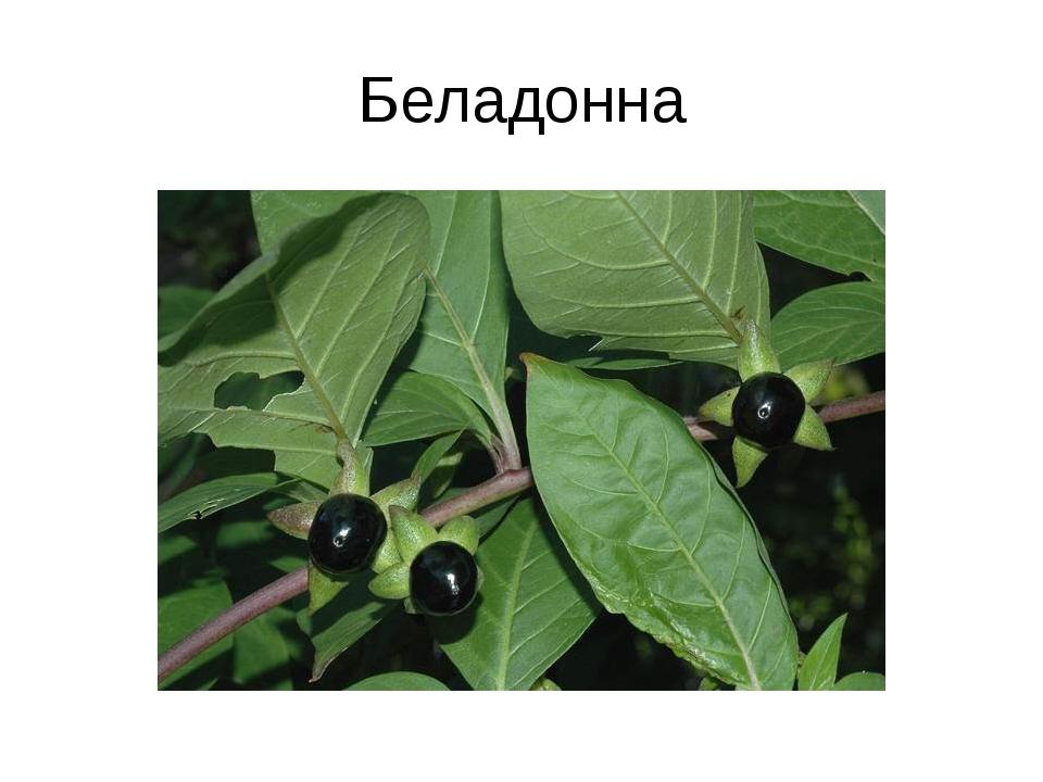 Беладонна
