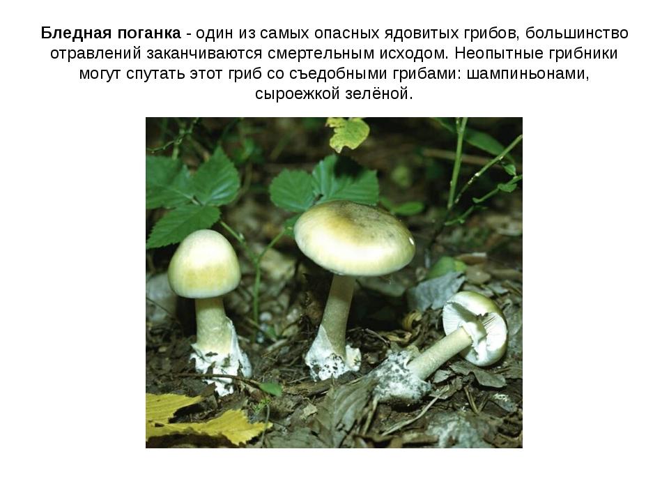 Бледная поганка - один из самых опасных ядовитых грибов, большинство отравлен...