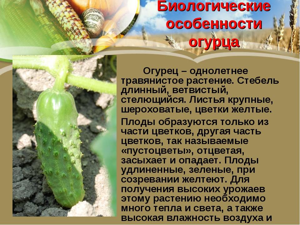 Биологические особенности огурца  Огурец – однолетнее травянистое растение....