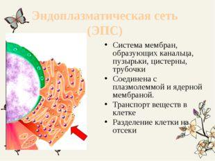 Эндоплазматическая сеть (ЭПС) Система мембран, образующих канальца, пузырьки,