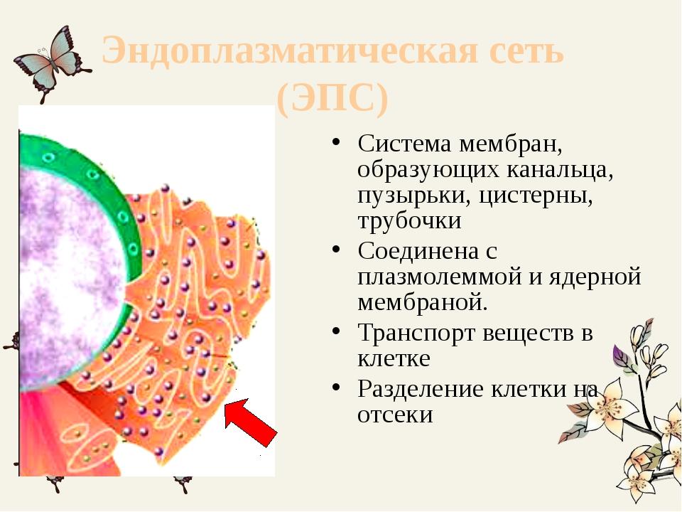 Эндоплазматическая сеть (ЭПС) Система мембран, образующих канальца, пузырьки,...