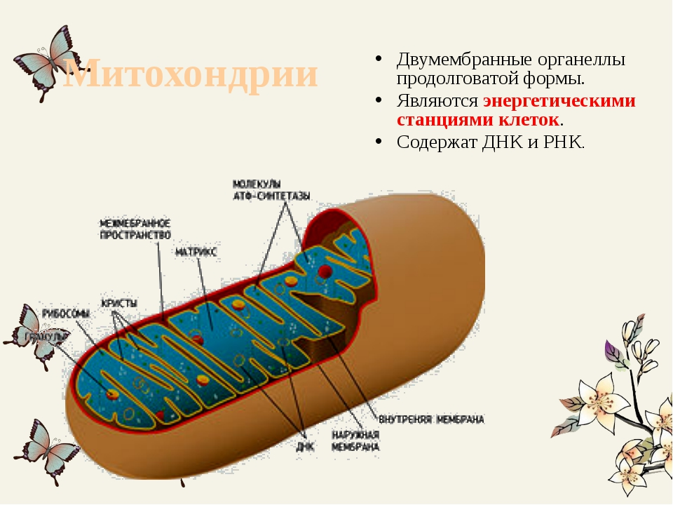Митохондрии Двумембранные органеллы продолговатой формы. Являются энергетичес...