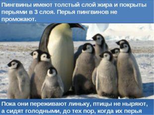 Пока они переживают линьку, птицы не ныряют, а сидят голодными, до тех пор, к