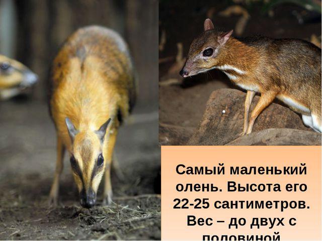 Самый маленький олень. Высота его 22-25 сантиметров. Вес – до двух с половин...