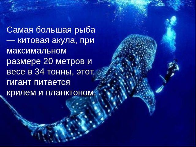 Самая большая рыба — китовая акула, при максимальном размере 20 метров и весе...