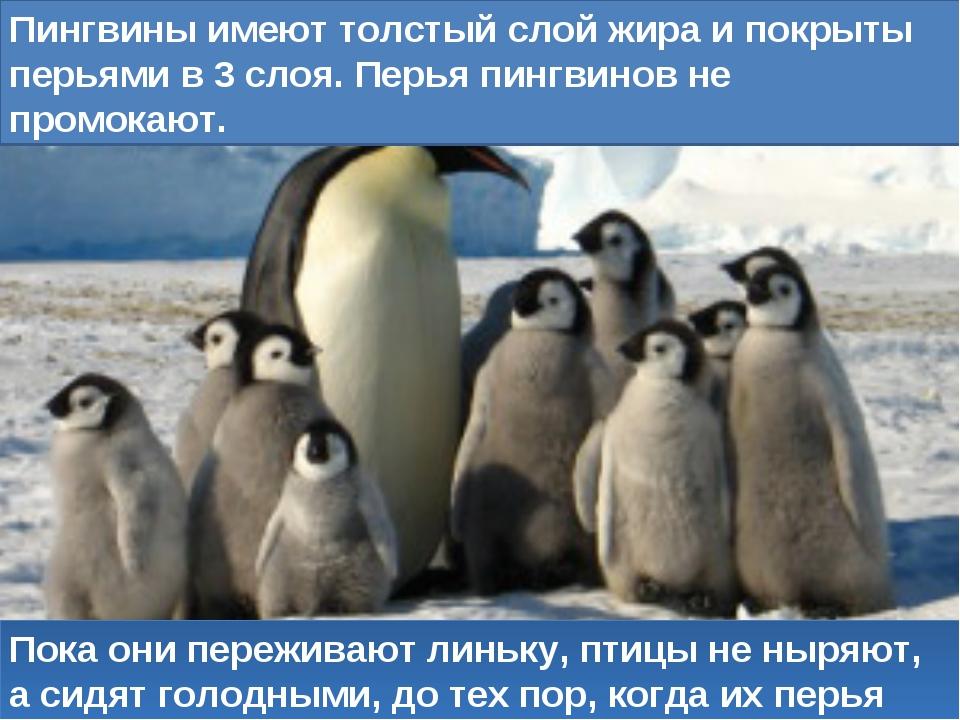 Пока они переживают линьку, птицы не ныряют, а сидят голодными, до тех пор, к...