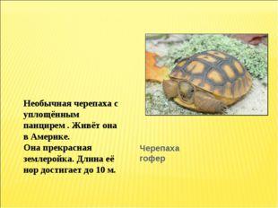Черепаха гофер Необычная черепаха с уплощённым панцирем . Живёт она в Америке
