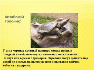 Китайский трионикс У этих черепах костный панцирь сверху покрыт гладкой кожей
