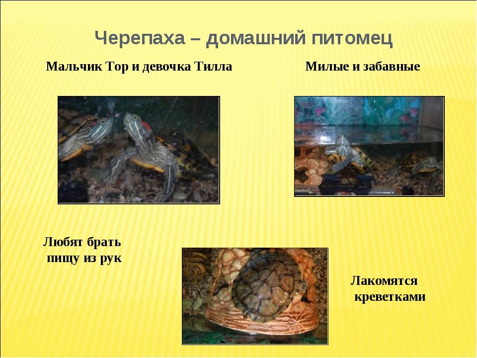 Черепаха – домашний питомец Лакомятся креветками Любят брать пищу из рук Маль...