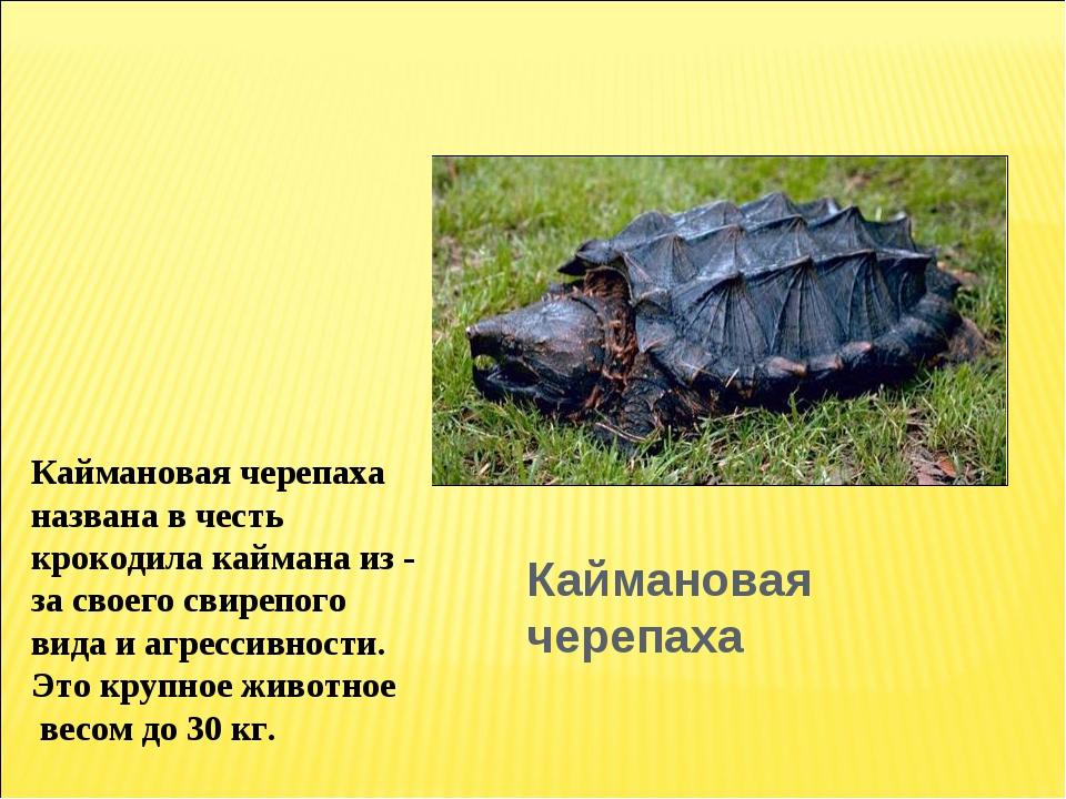 Каймановая черепаха Каймановая черепаха названа в честь крокодила каймана из...