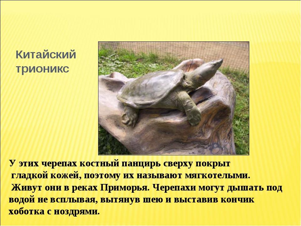 Китайский трионикс У этих черепах костный панцирь сверху покрыт гладкой кожей...