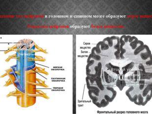 Скопление тел нейронов в головном и спинном мозге образуют серое вещество. От