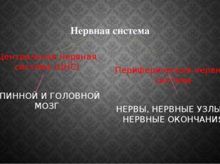 Нервная система Центральная нервная система (ЦНС) СПИННОЙ И ГОЛОВНОЙ МОЗГ Пер