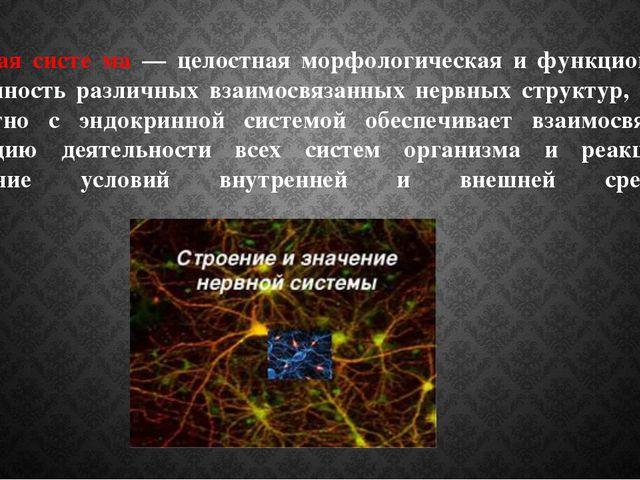 Не́рвная систе́ма — целостная морфологическая и функциональная совокупность р...