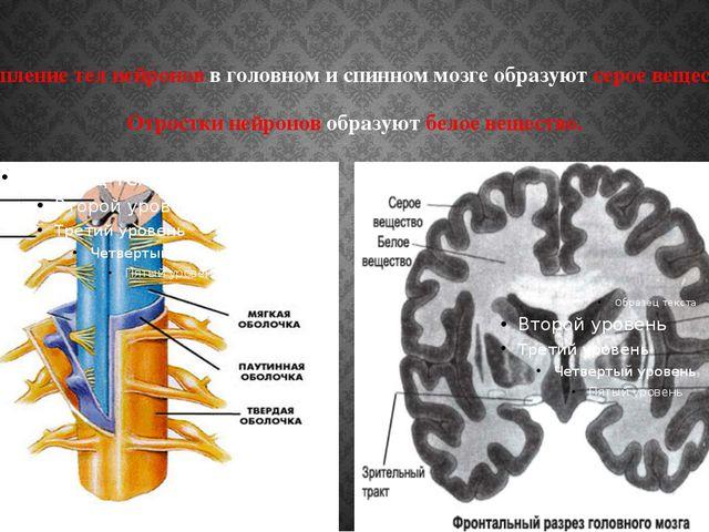 Скопление тел нейронов в головном и спинном мозге образуют серое вещество. От...