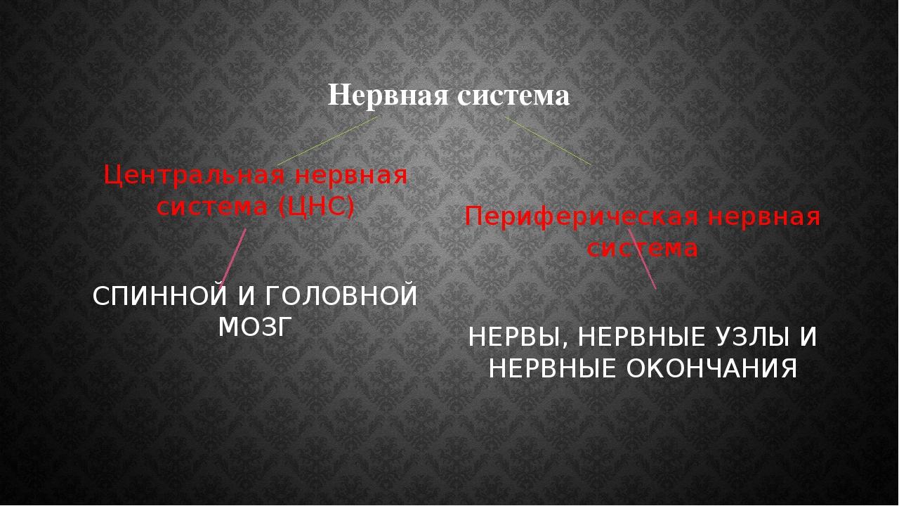 Нервная система Центральная нервная система (ЦНС) СПИННОЙ И ГОЛОВНОЙ МОЗГ Пер...