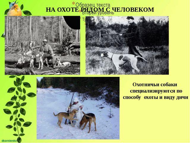 НА ОХОТЕ РЯДОМ С ЧЕЛОВЕКОМ Охотничьи собаки специализируются по способу охот...