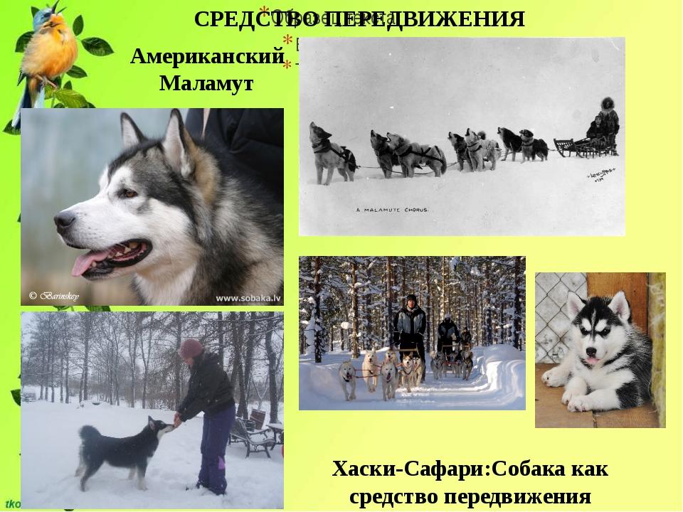 СРЕДСТВО ПЕРЕДВИЖЕНИЯ Американский Маламут Хаски-Сафари:Собака как средство...