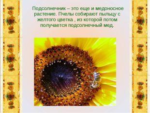 Подсолнечник – это еще и медоносное растение. Пчелы собирают пыльцу с желтог